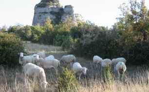 mouton causse